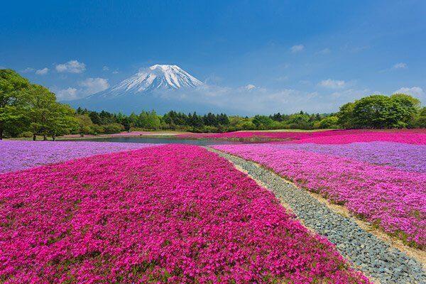 山梨富士芝櫻祭