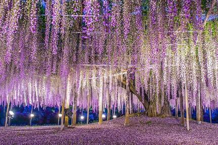 日本紫藤花