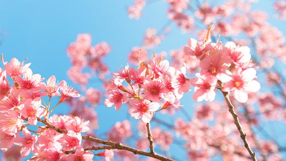 首爾-春季賞櫻