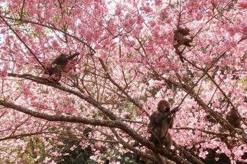 玩咖專欄_2020 台灣櫻花 野餐企劃!武陵農場 櫻花 野餐 ×阿里山茶席野餐
