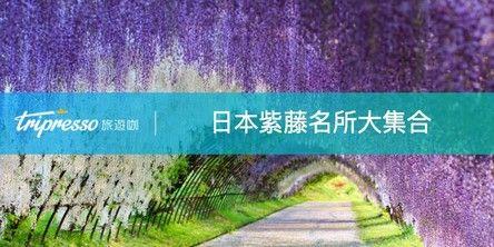 日本紫藤花 賞完粉色櫻花還有紫藤瀑布,日本紫藤名所大集合!