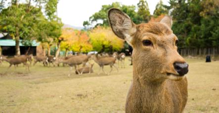 玩咖專欄_奈良與鹿同行!日本關西奈良公園必訪景點、餵鹿新規定/注意事項大揭密