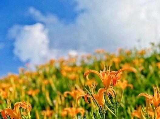 玩咖專欄_夏季最閃耀的金色地毯!花蓮「六十石山金針花季」8月浪漫登場~