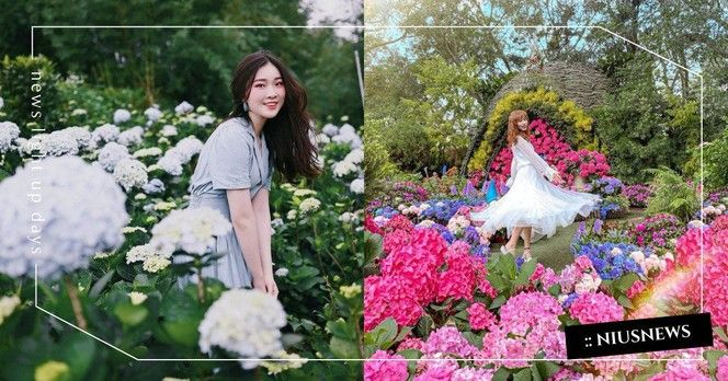 玩咖專欄_不能出門那就線上賞花!「竹子湖繡球花田」農友每日分享當日花況,還能外送把花訂回家